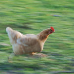 Very panicked chicken running. Photo by Alvesgaspar, via Wikimedia Commons
