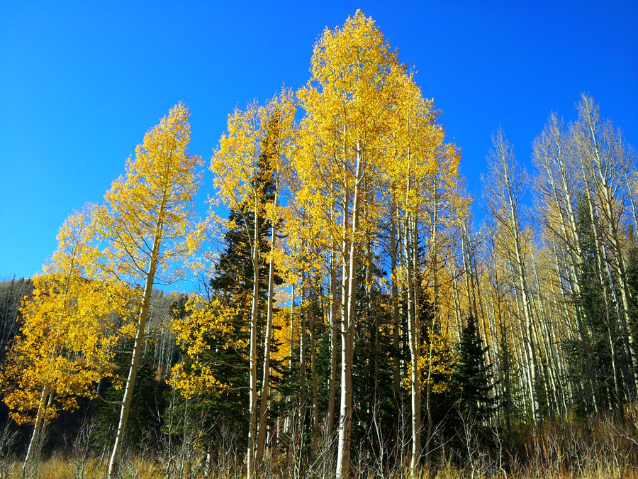 View from below of a stand of trees consisting of aspen and spruce.